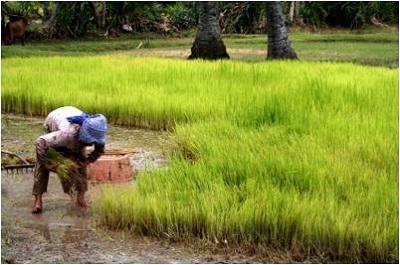 Asian Rice